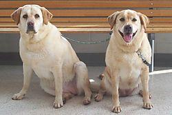 Labradors at The Vet