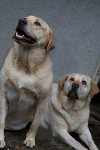 Look at me Lovely labs