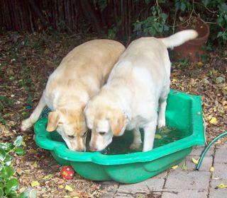 Paddle Pool Cool Labradors