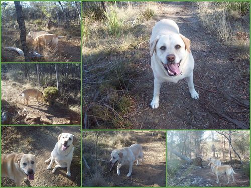 These Labs are made for walkin'