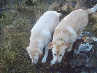 Nosy Labradors