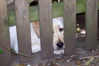 No Labrador Left Behind