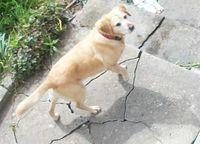Intruder Labrador
