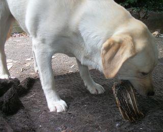 Gilly and her kangaroo bone