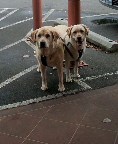 Labradors at the PO