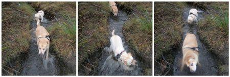 Labradors in a creek