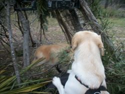 Labradors in the cubby