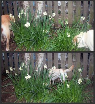 Flowers and labradors