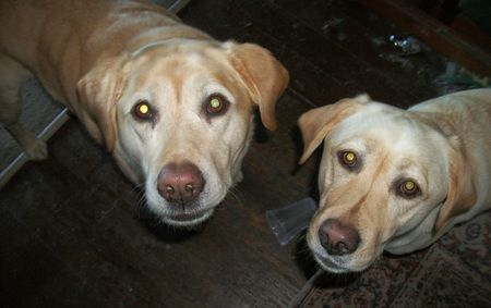 Bright Eyes Labradors