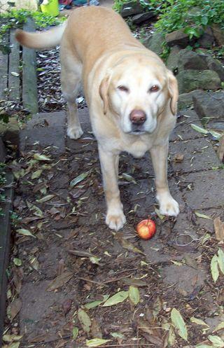 Peri is a happy appler