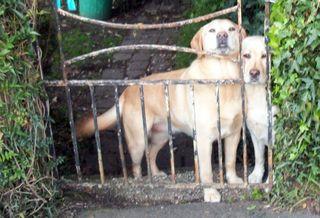 Squooshed Labradors