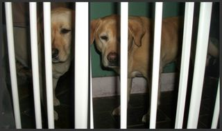Labradors behind the Baby Gate
