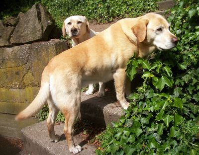 Labradors on steps