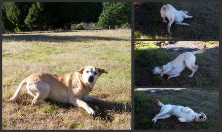 Labradors rollin rollin rollin