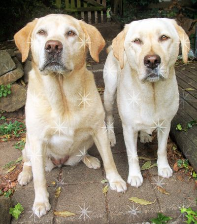 Christmas Labradors, Peri and Gilly