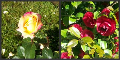 Tori's rose and camellia