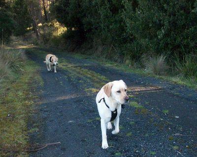 Trit trot Labradors