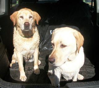 Wet Labradors