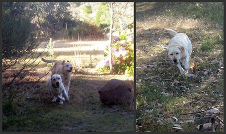 Labradors running
