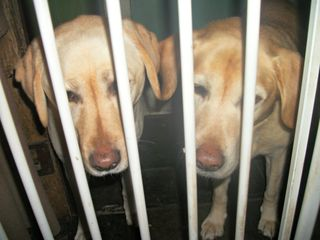 Labradors in reverse gaol