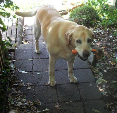 Peri has a carrot