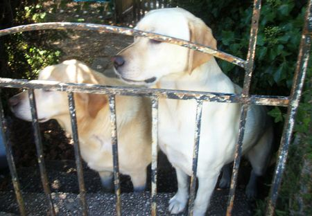 Labradors can open the gate