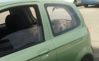 Labradors waiting