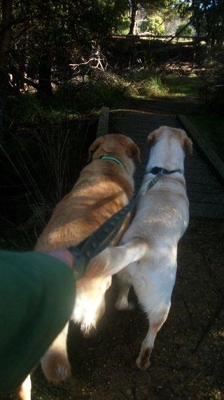 The labradors on the magic path