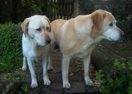 Labradors looking