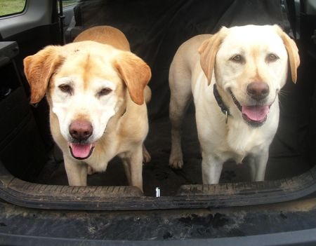 Happy Labradors after their walk