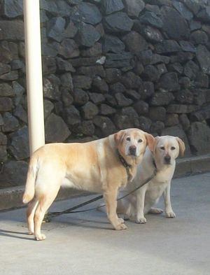 Labradors waiting worried