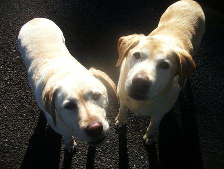 Labradors are sunny