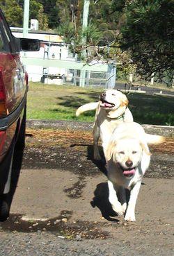 Labradors have fun