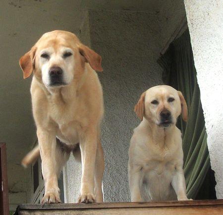 Letter Labradors