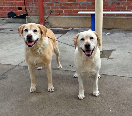 Labradors voting
