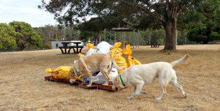 Labradors clean up australia