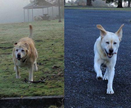 Running labradors