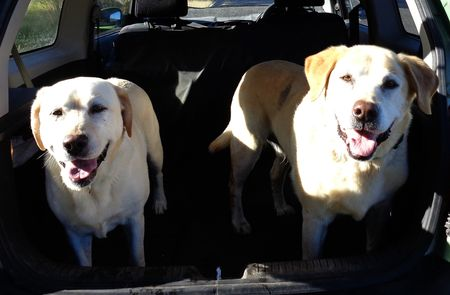 Happy walked labs