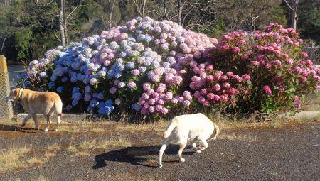 Labradors and colour change