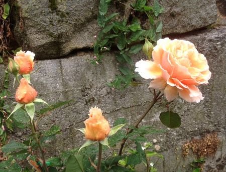 Peri's rose