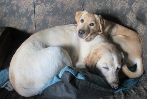 Labrador sisters