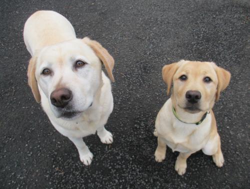 Labradors love treats