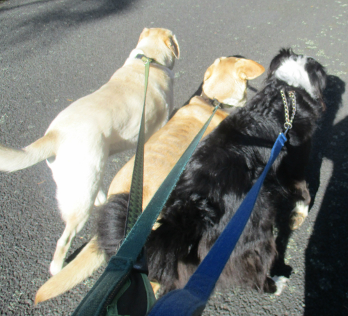 Three dogs walking
