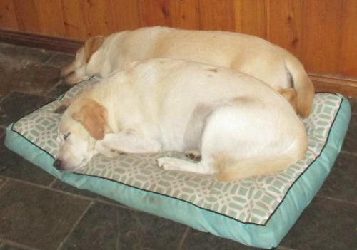 Labrador afternoon naps