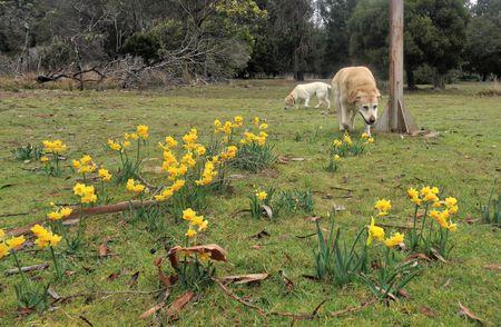 Spring labradors