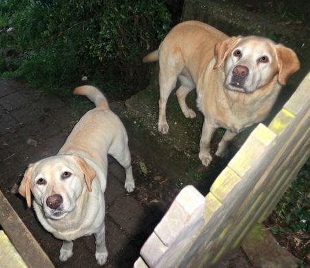 I am home. Labradors are there