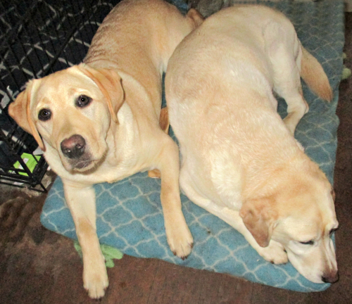 The Labradors on the cushion
