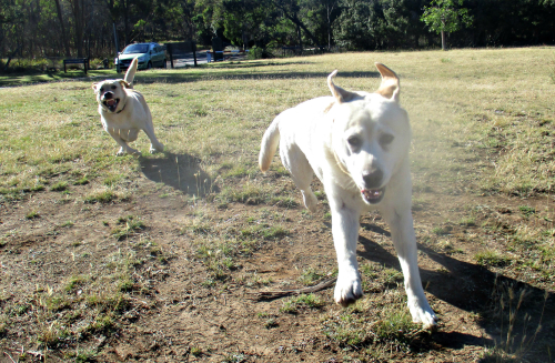 Run labradors run