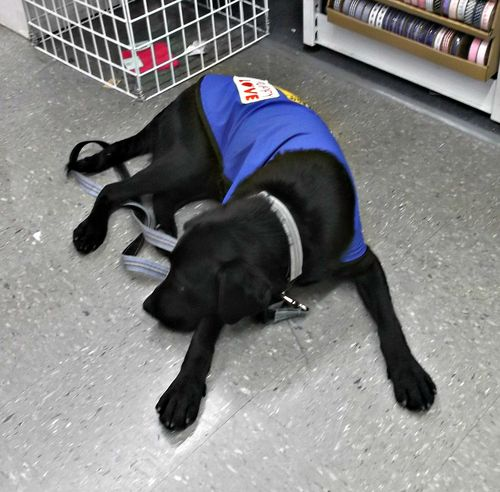 Bored guide dog in training