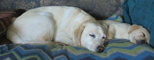 Sleepy Labradors